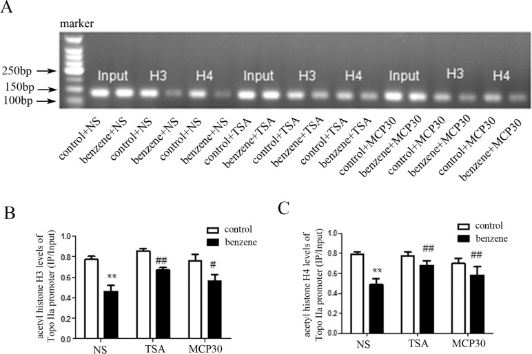 TSA or MCP30 increases the decreased acetylation of Topo IIα promoter in benzene poisoning mice. After all mice were killed, bone marrow mononuclear cells were separated and histone acetylation of Topo IIα promoter was assessed with chromatin immunoprecipitation (ChIP) assay using anti-acetylated <t>histone</t> H3 and anti-acetylated histone H4. ( A ) Representatives were shown for acetylation levels of histone H3 and histone H4 in the Topo IIα promoter. ( B ) Statistical data showed the acetylation levels of histone H3 in the Topo IIα promoter were shown. ( C ) Statistical data showed the acetylation levels of histone H4 in the Topo IIα promoter. ** P