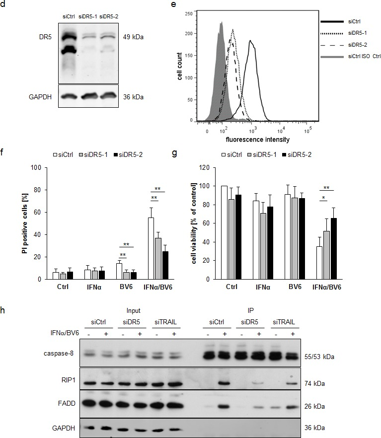 IFNα/BV6-induced cell death depends on TRAIL signaling in A172 cells A. - C. A172 cells were transiently transfected with 5 nM siRNA targeting TRAIL (siTRAIL1, siTRAIL2) or control siRNA. TRAIL mRNA levels were analyzed by qRT-PCR and are shown as fold increase with mean + SD of three (A172) or five (HT-29) independent experiments performed in duplicate, 28S rRNA was used as loading control A. . Cell death was determined after treatment for 72 hours with 5 ng/ml IFNα and/or 1 μM BV6 by PI staining using flow cytometry, mean + SD of five independent experiments performed in duplicate are shown; *, P