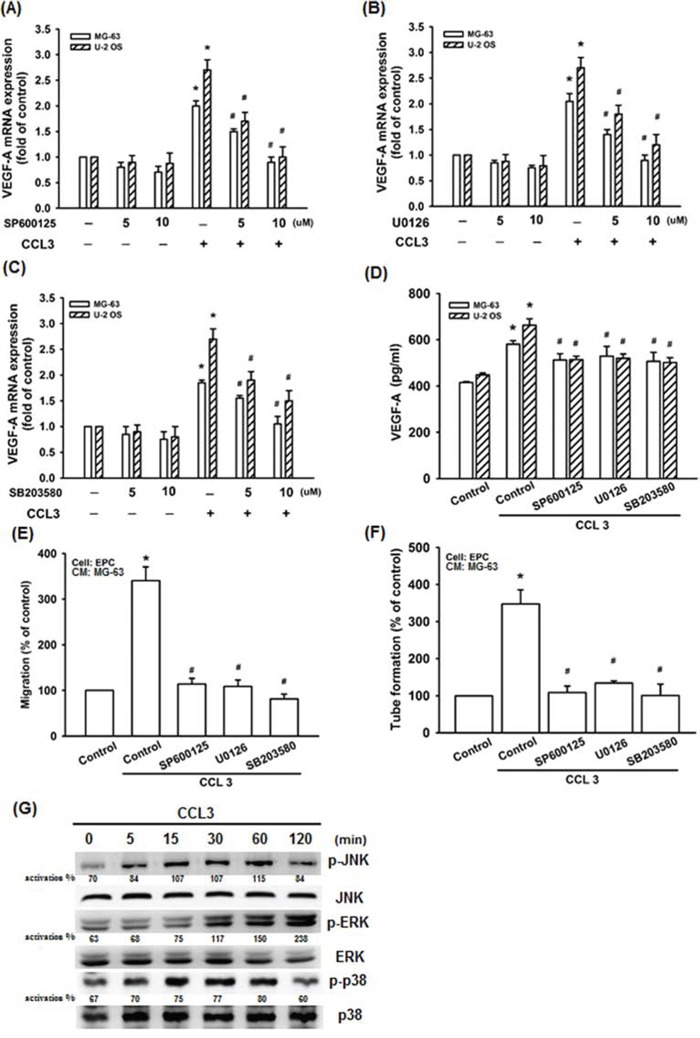 JNK, p38, and ERK activation are involved in CCL3-promoted VEGF-A expression and contributing to angiogenesis Cells were pretreated with SP600125 (JNK inhibitor) (0-10 μM), U0126 (ERK inhibitor) (0-10 μM), or SB203580 (p38 inhibitor) (0-10 μM) for 30 min, and then treated CCL3 (10 ng/mL) for 24 h. The mRNA and protein expression of VEGF-A were detected by RT-qPCR A-C. and ELISA D. E F. The culture medium were collected as CM and then applied to EPCs for 24 h. The cell migration and capillary-like structure formation in EPCs was examined by Transwell and tube formation assay. G. Cells were incubated with CCL3 (10 ng/mL) for the indicated times, and JNK, p38, and ERK phosphorylation were detected by western blot. The activation % was plotted phosphorylated target/total. Each experiment was done in triplicate. Results are expressed as mean ± S.E.M. * P