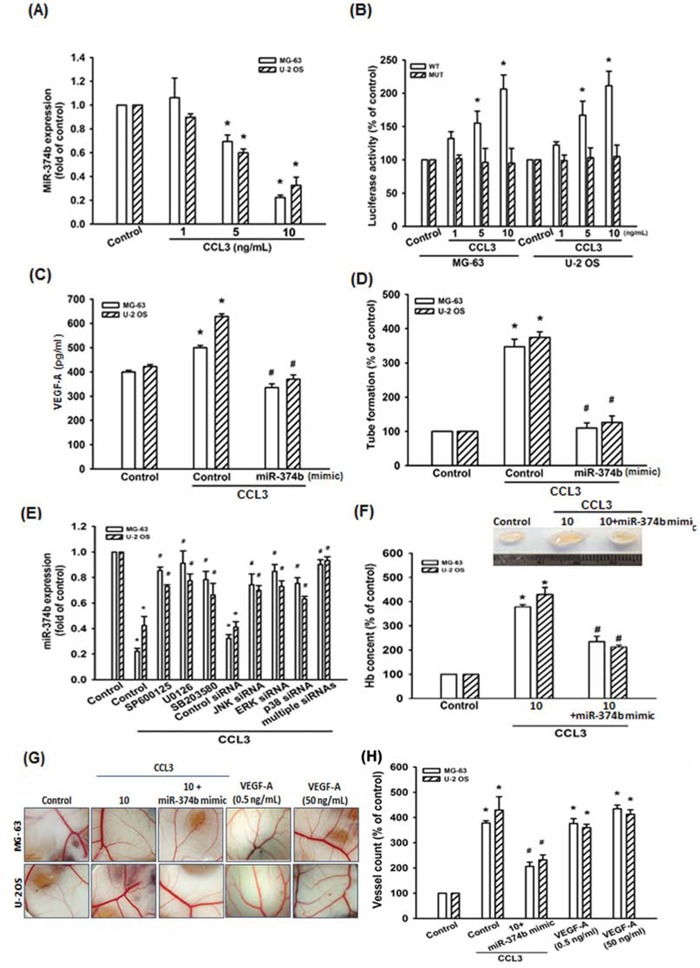 CCL3 promotes VEGF-A expression and angiogenesis by downregulating miR-374b A. Cells were treated with CCL3 (1-10 ng/mL) for 24 h, and miR-374b expression was detected by RT-qPCR. B. Cells were transfected with wild-type (pmirGLO-VEGF-A-WT; WT) or mutant (pmirGLO-VEGF-A-MUT; MUT) 3′ UTR reporter assay plasmid for 24 h, and then incubated with CCL3 (1-10 ng/mL), the relative luciferase activity was measured. C. Cells were transfected with miR-374b mimic for 24 h, and then incubated with CCL3 (10 ng/mL), and the VEGF-A expression was detected by ELISA kit. D. The culture medium were collected as CM and then applied to EPCs for 24 h. The capillary-like structure formation in EPCs was examined by tube formation assay. E. Cells were pre-treated with SP600125, U0126, SB203580 for 30 min or pre-transferated with JNK-, ERK-, p38-, or multiple (combining JNK-, ERK-, and p38-) siRNA for 24 h, then treated cells with CCL3 (10 ng/mL) for 24 h. The miR-374b expression was detected by RT-qPCR. F. Mice were injected subcutaneously with Matrigel mixed with osteosarcoma CM for 7 days, and then the plugs were excised from mice, photographed and quantified the hemoglobin content. G H. Chick embryos were incubated with osteosarcoma CM or VEGF-A (0.5 and 50 ng/mL) for 4 days, and then photographed with a stereomicroscope. Each experiment was done in triplicate. Results are expressed as mean ± S.E.M. * P
