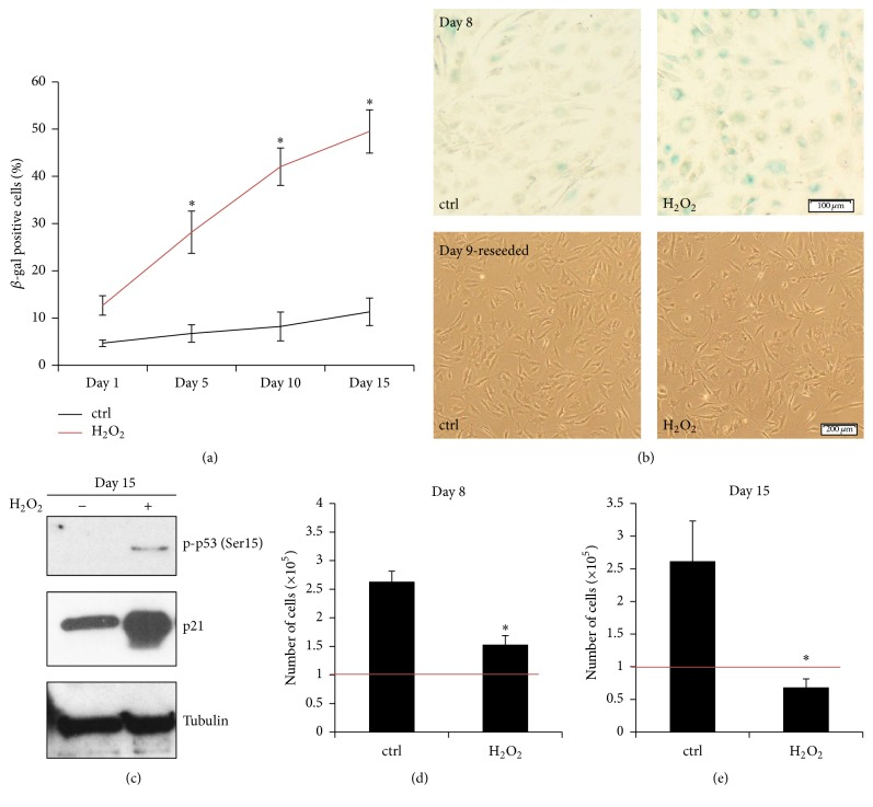 In vitro model system of stress-induced premature senescence. Sublethal oxidative stress (50 μ M H 2 O 2 ) with subsequent recovery period activated premature senescence of IVD cells in vitro . (a) Percentage of SA β -gal-positive cells in the H 2 O 2 treatment group gradually increased during 15 days after stress ( n = 5). (b) Upper part: representative images of SA β -gal staining of the untreated (ctrl) and the H 2 O 2 -treated cells on day 8 after stress, showing senescent (blue) cells. (b) Lower part: representative images of reseeded cells on day 9, confirming general cellular fitness. (c) Phosphorylation of p53 (Ser15) and expression of p21 in the H 2 O 2 treatment group on day 15 after stress indicated cellular senescence. ((d), (e)) Proliferative capacity, displayed as number of cells on days 8 and 15 after stress, was reduced in the H 2 O 2 groups. On day 15, the number of cells in the H 2 O 2 treatment group decreased below the seeding number (1 × 10 5 cells per well, depicted as red line), suggesting ongoing cell death. Asterisks indicate statistical significance at p