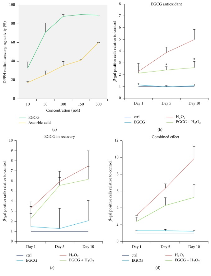 As an antioxidant, EGCG inhibited senescence-associated β -galactosidase accumulation. (a) EGCG exhibited increasing 2,2-diphenyl-1-picrylhydrazyl (DPPH) radical scavenging activity between 10 and 100 μ M, which confirmed its antioxidant properties. Ascorbic acid in the same concentration was used as positive control ( n = 3). ((b)–(d)) Oxidative stress was induced with 50 μ M H 2 O 2 for 2 hours and cellular senescence was measured during the following 10 days. 10 μ M EGCG inhibited SA β -gal accumulation when added to the oxidative stress phase, when its antioxidant activity was confirmed ( n = 5). (c) 10 μ M EGCG added to the recovery phase did not influence SA β -gal accumulation compared to the H 2 O 2 -only group ( n = 5). (d) EGCG combined in both phases (5 + 5 μ M) did not significantly inhibit SA β -gal accumulation, although a trend is visible ( n = 5). Asterisks indicate statistical significance at p
