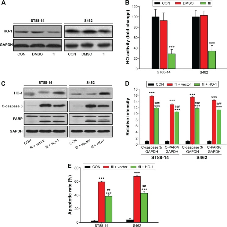 Flaccidoside II downregulates the expression and activation of antiapoptotic <t>HO-1,</t> which is involved in the apoptotic facilitation of flaccidoside II. Notes: ( A ) The ST88-14 and S462 cells were treated with either 40.0 μmol L −1 flaccidoside II or DMSO for 48 hours, and the protein expression level of HO-1 was measured by Western blotting, which was normalized to GAPDH. ( B ) The HO activity was measured in ST88-14 and S462 cells at 48 hours after treatment of these cells with 40.0 μmol L −1 flaccidoside II or DMSO. ( C ) The ST88-14 and S462 cells were treated with 40.0 μmol L −1 flaccidoside II with the transfection of either vector plasmid as a negative control or full-length HO-1 plasmid. The expression of HO-1, C-caspase 3, total PARP, and cleaved PARP were determined by Western blotting, and GAPDH was used as loading control ( C ). ( D ) Quantitative analysis of the apoptosis markers cleaved caspase 3 and cleaved PARP in ( C ). ( E ) The apoptotic rates of ST88-14 and S462 cells were determined by Annexin V-PI staining and flow cytometry for quantification. Each bar represents the mean ± SD of four independent experiments. *** P