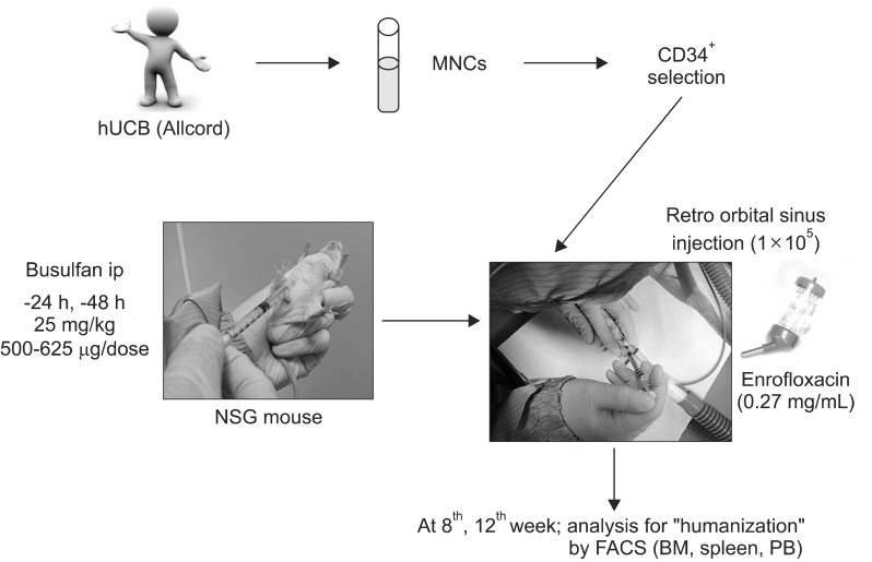 Scheme for generating the humanized NSG mice. <t>MNCs</t> isolated from hUCB were enriched using a <t>RosetteSep</t> kit and human CD34 MicroBead Kit. NSG mice were conditioned by busulfan and CD34 + cells were injected via retro-orbital sinus.