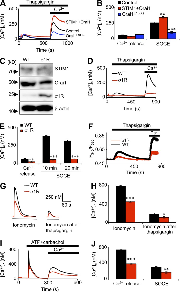 Inhibition of SOCE by σ1R. (A) Ca 2+ signals recorded from populations of fluo 4–loaded HEK cells transiently transfected with Orai1 E106Q , STIM1 and Orai1, or mock transfected (control). Cells were stimulated with 5 µM thapsigargin in Ca 2+ -free HBS before restoration of extracellular Ca 2+ (final free [Ca 2+ ], 4 mM). Results show mean responses from six replicates. (B) Summary results ( n = 3) show peak increases in [Ca 2+ ] c evoked by thapsigargin (Ca 2+ release) and Ca 2+ restoration (SOCE). (C) Typical immunoblot of σ1R, STIM1, Orai1, and β-actin from 20 µg of solubilized protein from wild-type (WT) HEK and HEK-σ1R cells. (D) Ca 2+ signals evoked by thapsigargin in Ca 2+ -free HBS and after restoration of extracellular Ca 2+ to wild-type and HEK-σ1R cells. (E) Summary shows responses to thapsigargin (Ca 2+ release) and SOCE detected after restoring Ca 2+ 10 or 20 min after thapsigargin ( n = 6). (F) Responses from single fura 2–loaded HEK cells show fluorescence ratios (F 340 /F 380 ) after stimulation with 5 µM thapsigargin and restoration of 4 mM extracellular Ca 2+ . n = 3, each with ∼45 cells. (G) Ca 2+ contents of the intracellular stores determined by measuring [Ca 2+ ] c after addition of 5 µM ionomycin in Ca 2+ -free HBS before or 10 min after treatment with thapsigargin. (H) Summary results ( n = 6). (I) Ca 2+ release and SOCE evoked by 100 µM carbachol and 100 µM ATP. (J) Summary results ( n = 6). *, P