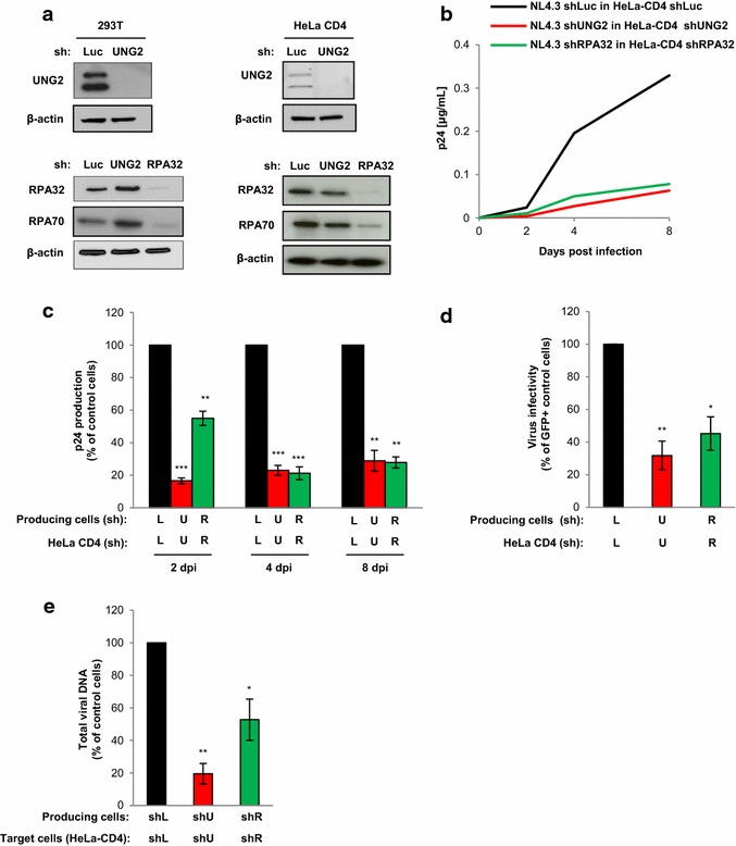 Impact of UNG2 and RPA32 depletion on HIV-1 replication in HeLa-CD4 cells. a Depletion of UNG2 and RPA32 in 293T ( left panels ) and HeLa-CD4 ( right panels ) cells. Cells were transduced with lentiviral vectors expressing shRNA against UNG2, RPA32 or Luciferase (Luc) used as a control. Lysates from shRNA-transduced cells were analyzed by Western blot using anti-UNG2, anti-RPA32, anti-RPA70 and anti-β-actin antibodies. b , c Virus replication in UNG2- or RPA32-depleted cells. Replication-competent viruses were produced in UNG2-, RPA32-depleted or in control shLuc 293T cells, normalized for viral p24, and then used for infection of UNG2-depleted ( red line and bars ), RPA32-depleted ( green line and bars ) or control shLuc ( black line and bars ) HeLa-CD4 cells. Aliquots of cell culture supernatant were collected 2, 4, and 8 days after infection for p24 quantification. In b , the kinetic of replication shown is representative of four independent experiments. In c , results are the means of the four independent experiments and are expressed as the percentage of p24 production at each time point relative to that of shLuc-transduced HeLa-CD4 cells infected with control viruses. d Virus infectivity. Wild-type GFP reporter viruses were produced in shUNG2-, shRPA32- or shLuc-transduced 293T cells, normalized for p24, and then used to infect shUNG2-, shRPA32- or shLuc-transduced HeLa-CD4 cells as indicated. The percentage of GFP-positive infected cells was then measured by flow cytometry 60 h later. Viral infectivity was normalized to that of viruses produced in control 293T cells and measured on control HeLa-CD4 as target cells. e Quantification of total viral DNA. Infected HeLa-CD4 cells were collected 7 h after infection, subjected to DNA purification, and the total viral DNA was quantified by qPCR using specific primers for U5 - gag . Results are expressed as the percentage of total viral DNA relative to that of shLuc-transduced HeLa-CD4 cells infected with control viru