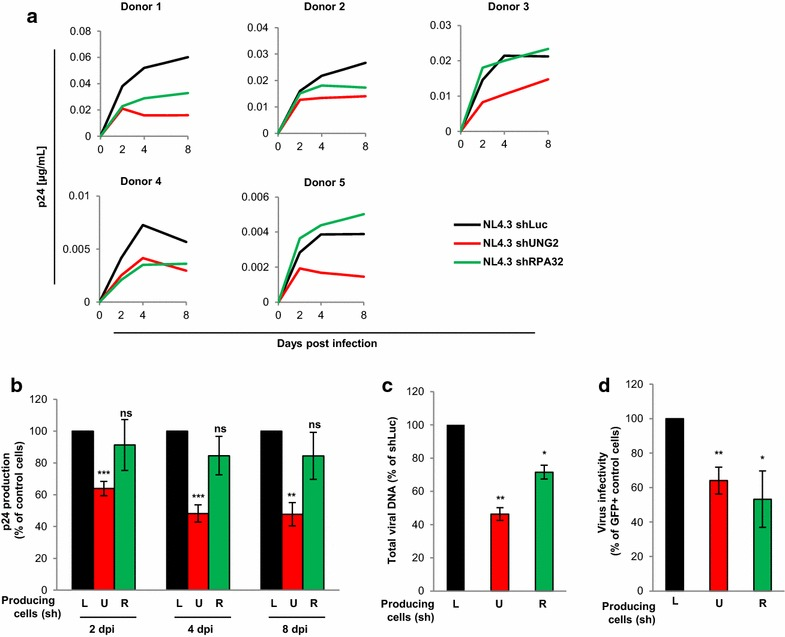 Impact of UNG2 and RPA32 on HIV-1 replication in PBMCs. a – c Viral replication. Replication-competent viruses were produced in shLuc- ( black curves and bars ), shUNG2- ( red curves and bars ) or shRPA32- ( green curves and bars ) transduced 293T cells, normalized for p24, and then used for infection in duplicate of PBMCs from five different healthy blood donors. Aliquots of PBMC culture supernatant were collected 2, 4 and 8 days after infection for p24 quantification. In a , the individual kinetics of replication in PBMCs from the five healthy donors are shown. In b , results are expressed as the percentage of p24 production at each time point relative to that of PBMCs infected with viruses produced in shLuc-transduced ( black bars ) 293T cells. Values are the means of two independent experiments performed on PBMCs from the five healthy donors. In c , PBMCs were collected 7 h after infection, subjected to DNA purification, and total viral DNA was quantified via qPCR using specific primers for U5 - gag . Results are expressed as the percentage of total viral DNA relative to that of PBMCs infected with viruses produced in shLuc-transduced ( black bar ) cells. d Virus infectivity. GFP reporter viruses were produced in shUNG2-, shRPA32- or shLuc-transduced 293T cells as indicated, normalized for p24, and then used to infect PBMCs from three different donors. The percentage of GFP-positive infected cells was then measured by flow cytometry 60 h later. Viral infectivity was normalized to that of viruses produced in shLuc-transduced 293T cells. Error bars represent the SEM. Statistical significance was determined by using the Students t test (ns, p > 0.05; *p