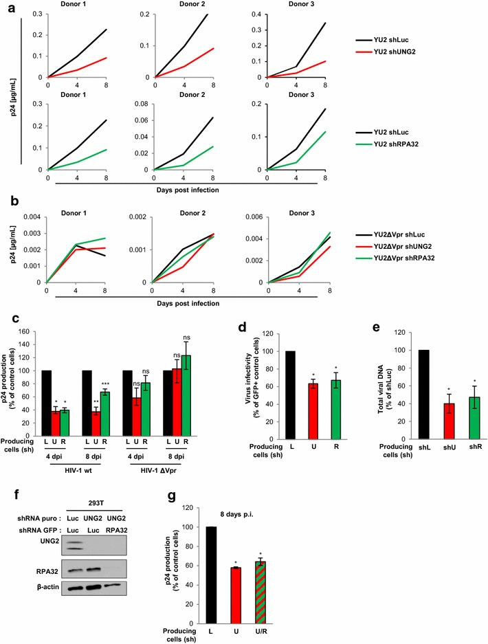 Impact of UNG2 and RPA32 on HIV-1 replication in macrophages. a – c Wild-type ( a ) or Δ vpr ( b ) replication-competent viruses were produced in shLuc- ( black curves and bars ), shUNG2- ( red curves and bars ) or shRPA32- ( green curves and bars ) transduced 293T cells, normalized for p24, and then used for infection in duplicate of MDMs from 3 different healthy donors. In a and b , aliquots of MDM cell culture supernatants were collected 4 and 8 days after infection for p24 quantification. The individual kinetics of replication in PBMCs from the three healthy donors are shown. In c , results are expressed as the percentage of p24 production at each time point relative to that of MDMs infected with wt or Δ vpr viruses produced in shLuc-transduced ( black bars ) cells. Values are the means of two independent experiments performed on MDMs from the two donors. d Virus infectivity in MDMs. Wild-type GFP reporter viruses were produced in shUNG2-, shRPA32- or shLuc-transduced 293T cells, normalized for p24, and then used to infect MDMs from three different donors. The percentages of GFP-positive infected cells were then measured by flow cytometry 60 h later. Viral infectivity was normalized to that of viruses produced in shLuc-transduced ( black bars ) 293T cells. e Replication-competent viruses were produced in shLuc-, shUNG2- or shRRA32-transduced 293T cells, normalized for p24, and then used for infection of MDMs from three different donors. MDM samples were collected 72 h after infection, subjected to DNA purification, and total viral DNA was quantified via qPCR using specific primers for U5 - gag . Results are expressed as the percentage of total viral DNA relative to that of MDMs infected with viruses produced in shLuc-transduced ( black bar ) cells. f Double-depletion of UNG2 and RPA32 expression in virus-producing 293T cells. Cells were transduced with lentiviral vectors expressing shRNA against UNG2 or Luciferase and containing the gene for puromycin resistance