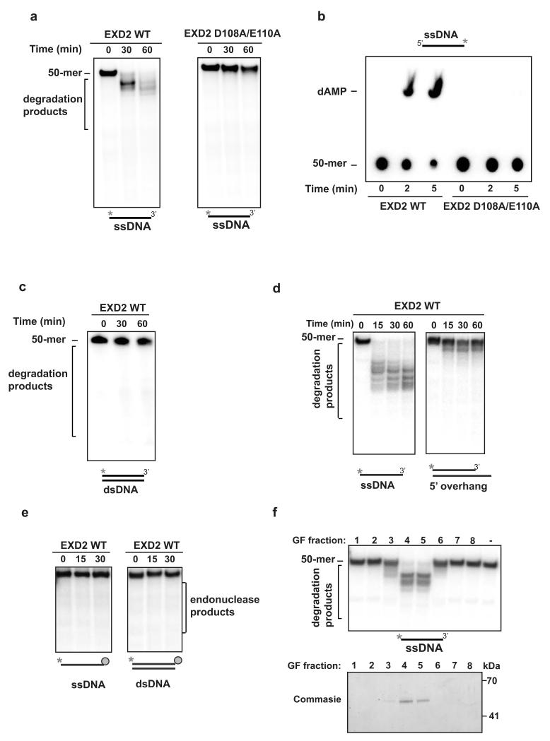 EXD2 displays 3′ – 5′ exonuclease activity in vitro a) 5′ radiolabeled ssDNA 50-mer substrate (10 nM molecules) was incubated for the indicated amounts of time with EXD2 WT or EXD2 D108A E110A mutant protein (70 nM). Samples were resolved on a 20% TBE-Urea polyacrylamide gel and visualised by phosphorimaging. This experiment was carried out two times independently. b) 3′ radiolabeled ssDNA 50-mer substrate (0.25 μM molecules) was incubated for the indicated amounts of time with EXD2 WT or EXD2 D108A E110A (70 nM) mutant protein. Samples were resolved by TLC in 1M sodium formate pH 3.4 and visualised by phosphorimaging. This experiment was carried out two times independently. c) 5′ dsDNA 50-mer substrates (10 nM molecules) were incubated for the indicated amounts of time with EXD2 WT protein (70 nM). Samples were resolved on a 20% TBE-Urea polyacrylamide gel and visualised by phosphorimaging. This experiment was carried out two times independently. d) 5′ radiolabeled ssDNA or dsDNA with 5'overhang substrate (3 nM molecules) was incubated for indicated amounts of time with EXD2 WT (K76 - V564) protein (25 nM). Samples were resolved on a 20% TBE-Urea polyacrylamide gel and visualised by phosphorimaging. This experiment was carried out two times independently. e) 5′ radiolabeled ssDNA or dsDNA (3 nM molecules) with 3′ end blocked by biotin – streptavidin was incubated for indicated time with EXD2 WT (K76 - V564) protein (25 nM) in buffer supplemented with 1 mM ATP. Samples were resolved on a 20% TBE-Urea polyacrylamide gel and visualised by phosphorimaging. This experiment was carried out two times independently. f) (upper panel) EXD2 WT (K76 - V564) gel-filtration fractions were tested for nuclease activity against 5′ radiolabeled ssDNA (10 nM molecules). Reactions were incubated for 30 min and resolved on a 15% TBE-Urea polyacrylamide gel and visualised by phosphorimaging; (lower panel) Coomassie blue–stained gel depicting the EXD2 protein in gel-filtration fractions 