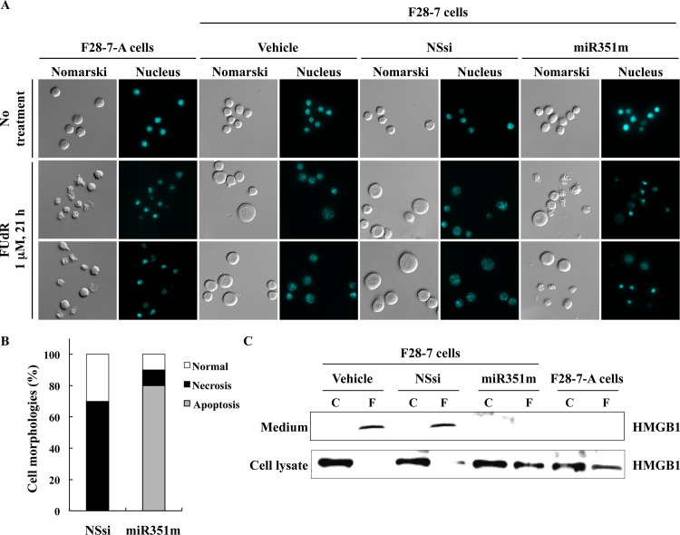 Higher expression of miR-351 shifts the FUdR-induced cell death morphologies from necrosis to apoptosis. (A) At 48 hours after transfection with the vehicle, non-silencing siRNA (NSsi) or the mature miR-351-5p mimic (miR351m), the F28-7 cells were treated with or without 1 μM FUdR for 21 h, and then stained with DAPI. Morphological changes were analyzed by Olympus BX61 fluorescence microscope at 400× magnification. (B) Percentage of necrosis, apoptosis, and normal cell morphologies in FUdR-treated F28-7 cells transfected with NSsi or miR351m. (C) At 48 hours after transfection with the vehicle, non-silencing siRNA (NSsi) or the miR-351 mimic (miR351m), the F28-7 cells were treated with or without 1 μM FUdR for 21 h, and analyzed by western blotting for anti-HMGB1 antibody. As a negative control, F28-7-A cells were treated with or without 1 μM FUdR for 21 h, and examined by western blotting. Two additional independent experiments gave similar results.