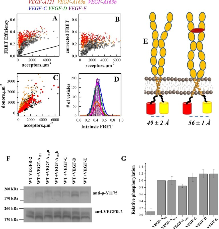 A conformational change in the TM domain dimer upon ligand binding increases VEGFR-2 phosphorylation. ( A ) FRET efficiency measured as a function of acceptor concentration for EC+TM VEGFR-2, in the absence of ligand and in the presence of 3 μg.ml -1 VEGF-A 121 and VEGF-A 165 a. Two hundred to 500 individual vesicles were imaged in at least three independent experiments. Each data point corresponds to a single vesicle. The stochastic FRET contribution ( King et al., 2014 ) is shown as a solid line. Black stars: FRET data without ligand. ( B ) FRET efficiencies for individual vesicles, corrected for the stochastic FRET contribution. There is no dependence on receptor concentration, indicative of constitutive dimerization. ( C ) Donor concentrations versus acceptor concentrations. ( D ) Intrinsic FRET values, measured for VEGFR-2 EC+TM in the presence of 3 μg.ml -1 of VEGF-A 121 , VEGF-A 165 a, VEGF-A 165 b, VEGF-C, VEGF-E, and VEGF-D. ( E ) Graphical representation of the ligand-induced changes in distance between fluorescent proteins, and the inferred changes in TM domain structures. ( F ) The six VEGF ligands increase VEGFR-2 phosphorylation, to the same extent. A representative Western Blot comparing the phosphorylation of Tyr 1175 in the absence of ligand, and in the presence of six VEGF ligands, at concentrations of 3 μg.ml -1 . Only the top bands, corresponding to mature fully glycosylated receptors, are considered here. Phosphorylation is significantly increased upon ligand addition, with the increase being as high as 10 times. ( G ) Quantification of Western blot results for the fully glycosylated receptors (top bands), in the presence of the six ligands. VEGFR-2 phosphorylation in the presence of the six ligands is very similar. DOI: http://dx.doi.org/10.7554/eLife.13876.009