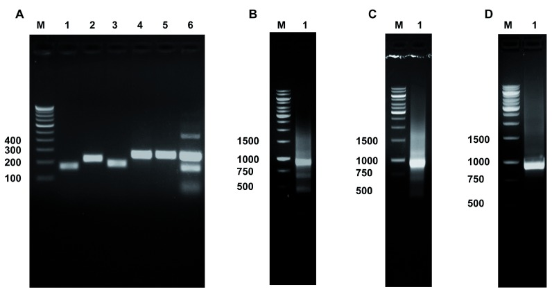 Multiplex PCR amplification and concatenation of KRAS and EGFR exons generates CRE product. Panel A . PCR amplification of KRAS and EGFR exons using NCI-H1975 genomic DNA: Lane 1, KRAS exon 2 (151 bp) amplified with OAD176 and OAD177; Lane 2, EGFR exon 18 (209 bp) amplified with OAD 178 and OAD 144; Lane 3, EGFR exon 19 (178 bp) amplified with OAD 145 and OAD 146; Lane 4, EGFR exon 20 (246 bp) amplified with OAD 147 and OAD 150; Lane 5, EGFR exon 21 (251 bp) amplified with OAD 151 and OAD 152; Lane 6, Multiplex PCR of KRAS exon 2 and EGFR exons 18-21 with cocktail of primers used in Lanes 1–5. Concatenated KRAS and EGFR (CRE) product of ~915 bp amplified with OAD 176 and OAD 152 using multiplex PCR product as template derived from NCI-H1975 genomic DNA (shown in Panel B , Lane 2); derived from fresh frozen primary tumor genomic DNA (shown in Panel C , Lane 2); using tumor genomic DNA extracted from FFPE block (shown in Panel D, Lane 2).