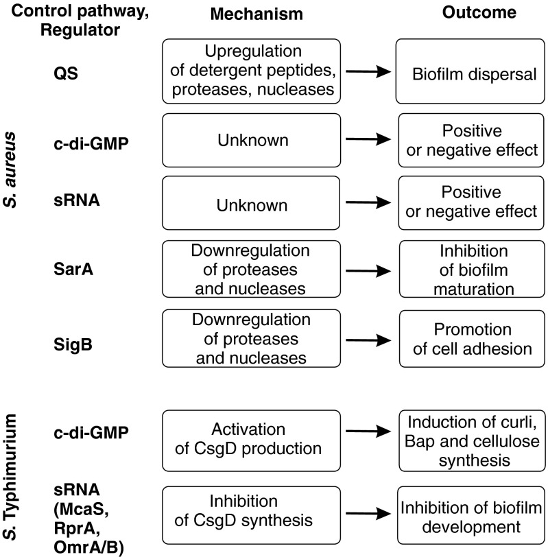 Control of biofilm formation in S. aureus and S. Typhimurium. S. aureus : biofilm control by five main regulatory factors is shown. QS positively regulates the synthesis of detergent-like peptides, proteases, and nucleases, resulting in biofilm dispersal. The involvement of c-di-GMP and sRNAs in biofilm regulation is still controversial, and the mechanism of their activity is unknown. SarA inhibits the expression of proteases and nucleases and, thus, promotes the development of immature biofilm. Alternative sigma factor SigB promotes the expression of adherence factors and, thus, positively regulates the initial steps of biofilm formation. S. Typhimurium: c-di-GMP activates the master CsgD and, subsequently, increases the synthesis of curli, Bap, and cellulose. Several sRNAs (McaS, RprA, OmrA/B, and possibly GcvB) inhibit the translation of CsgD mRNA and inhibit biofilm development