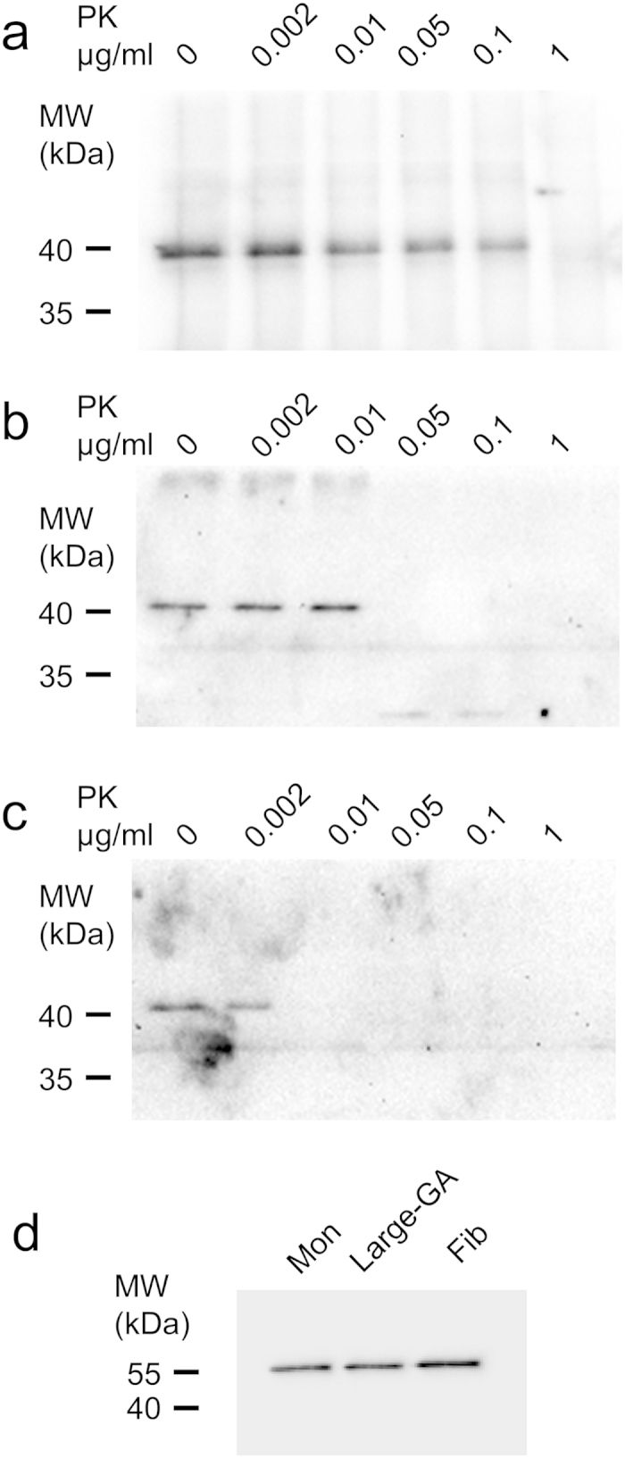 Seeded aggregation of reporter ChFP-α-syn by exogenous α-syn assemblies assessed by increased resistance to proteolysis. Western blot analysis of the ChFP-α-syn resistance to proteinase K in lysates from Neuro2A cells exposed for 24h to 0.3nM α-syn fibrils, equivalent to 2.5μM monomeric α-syn ( a ), 300nM large GA-cross-linked α-syn oligomers, equivalent to 5μM monomeric α-syn ( b ), or 5μM monomeric α-syn ( c ). The lysates (40μl corresponding to ~80000 cells), were incubated in the presence of the indicated concentrations of proteinase K for 20min at 37°C. The proteolytic reactions were stopped by addition of 1mM PMSF and immediate denaturation in Laemmli buffer for 5min at 95°C. The samples were analyzed on 12% Tris-Glycine SDS-PAGE. ChFP–α-syn ( a – c ) was probed with mouse monoclonal anti-α-syn antibody (BD Biosciences Cat #610787). The immunoreactivity of α-tubulin (mouse monoclonal antibody DM1A, Abcam Cat #ab7291) in the initial lysate was used as a loading control ( d ). ChFP-α-syn assemblies seeded by α-syn fibrils resisted 0.1μg/ml proteinase K ( a ). ChFP-α-syn from cells exposed to monomeric α-syn was fully degraded by 0.01μg/ml proteinase K ( c ). ChFP-α-syn originating from cells exposed to large GA-cross-linked oligomers resisted 0.01μg/ml and was fully degraded by 0.05μg/ml proteinase K ( b ).