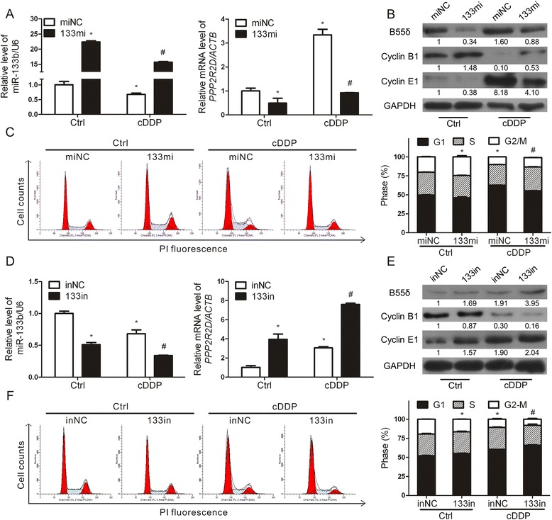 miR-133b participates in cell cycle regulation by targeting PPP2R2D . a - c After transfection with miNC or 133mi, HepG2 cells were treated with or without 2.5 μg/ml cDDP for 12 h. a miR-133b and PPP2R2D mRNA levels. b Protein levels of B55δ, Cyclin B1, and Cyclin E1. c Cell cycle distribution was analyzed by FCM. d - f HepG2 cells transfected with inNC or 133in were treated with or without cDDP. d qRT-PCR, e WB, and ( f ) FCM were conducted as before. The data are expressed as mean ± SD of three independent experiments. * P