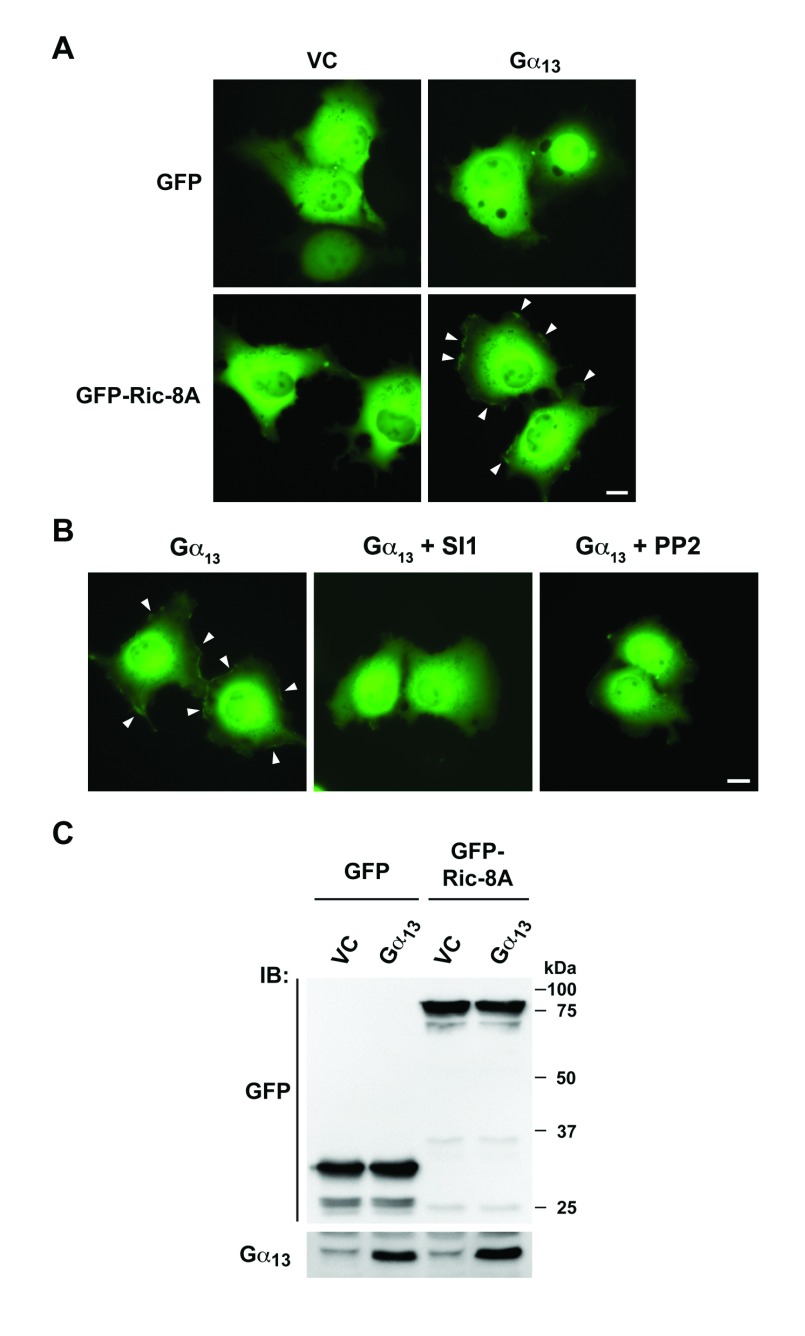 Gα 13 induces Src-dependent plasma membrane translocation of Ric-8A. A. GFP or GFP-Ric-8A fusion construct was coexpressed with vectors expressing Gα 13 along with appropriate control vectors (1 mg) in COS-7 cells (1.5 × 10 6 cells/dish). At 48 hrs, the transfectants were lysed and the lysates were subjected to immunoblot (IB) analysis using the respective antibodies to monitor the expressions of GFP, GFP-Ric-8A and Gα 13 proteins. B. Cells transiently expressing GFP or GFP-Ric-8A fusion protein along with vectors expressing Gα 13 or vector control for 48 hrs were imaged by fluorescence microscopy. Localization of GFP-Ric-8A on plasma membrane (arrowheads) was observed in the presence of Gα 13 . Scale bar, 10 mm. C. COS7 cells transfected with GFP-Ric-8A and Gα 13 for 48 hrs were treated 10mM Src kinase inhibitor SI1 or PP2 for 16 hrs and the fluorescence of GFP was imaged. Plasma membrane localization (arrowheads) was attenuated in the presence of SI1 or PP2. Scale bar, 10 mm. Data are representative of three independent experiments with similar results.