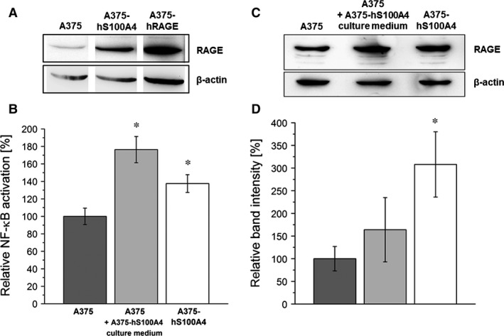 Synthesis of RAGE and S100A4‐mediated NF ‐κB p65 activation in melanoma cells. ( A ) Representative Western blot shows RAGE protein synthesis in A375, A375‐hS100A4, and A375‐ hRAGE cell lysates. β‐actin was used as loading control. ( B ) NF ‐κB p65 activation in nuclear extracts of wild type A375, wild type A375 cells re‐treated with culture medium of A375‐hS100A4 cells, and A375‐hS100A4 cells (mean ± S.E.M., n = 4). ( C ) Representative Western blot shows S100A4‐mediated up‐regulation of RAGE protein synthesis in wild type A375 cells re‐treated with culture medium of A375‐hS100A4 cells and A375‐hS100A4 cells compared to wild type A375 cells. β‐actin was used as loading control. ( D ) Densitometric analysis of RAGE expression in wild type A375, wild type A375 cells re‐treated with culture medium of A375‐hS100A4 cells, and A375‐ hS 100A4 cells related to β‐actin expression (mean ± S.E.M., n = 3, * P
