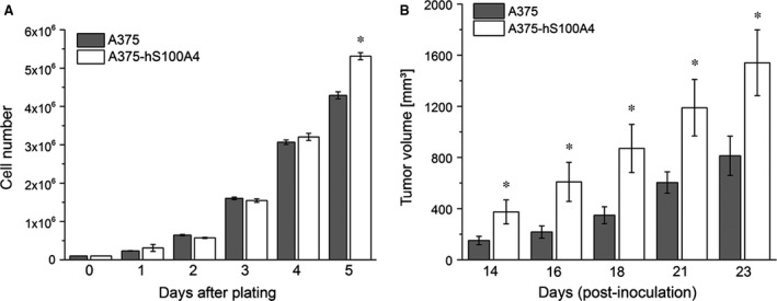 Influence of S100A4 overexpression on cellular growth in vitro and in vivo . ( A ) Cell growth was evaluated for wild type A375 and A375‐hS100A4 cells (mean ± S.E.M., n ≥ 9, * P