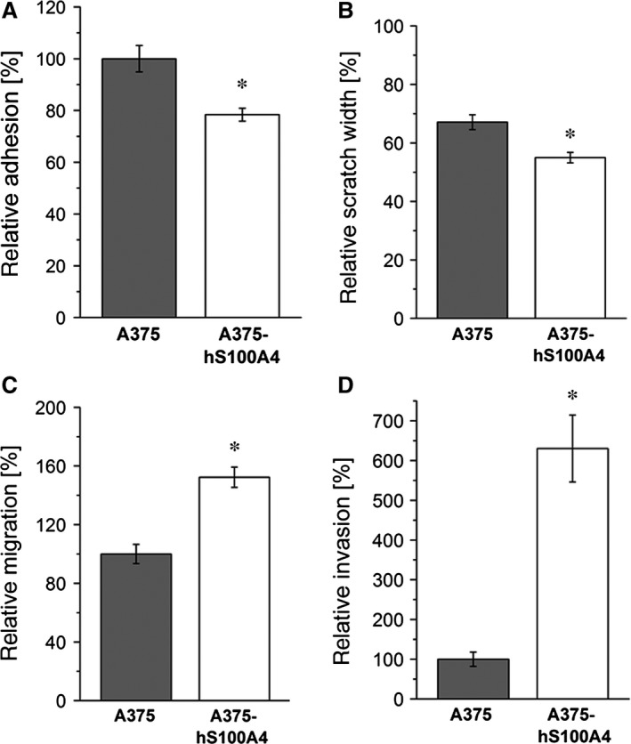 Effect of S100A4 overexpression on cell adhesion, motility, migration, and invasion in A375 cells. Relative adhesion ( A ), relative scratch widths ( B ), relative migration ( C ), or relative invasive capability ( D ) of A375 and A375‐hS100A4 cells was measured after 24 hrs. Adhesion, migration, and invasion rate of untreated control cells were set as 100%. Initial scratch width was set as 100% (mean ± S.E.M., n = 3, * P