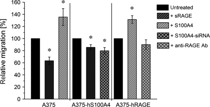 Regulation of cell migration by S100A4‐ RAGE interaction. Relative migration of wild type A375, A375‐hS100A4, and A375‐ hRAGE cells (untreated, fivefold molar excess (150 ng/ml) of sRAGE , fivefold (150 ng/ml; in A375 cells) or 100‐fold molar excess (3000 ng/ml) of S100A4 (in A375‐ hRAGE cells), S100A4‐si RNA , and blocking Anti‐ RAGE antibody) are shown. Migration rate of untreated control cells were set as 100% (mean ± S.E.M., n ≥ 3, * P