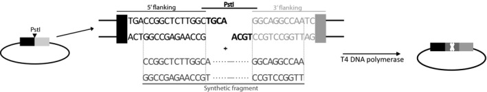 Ligation independent cloning strategy. Flanking regions (350 bp and 500 bp) of the 10 AA containing active site were amplified from genomic DNA with tailed primers, introducing restriction sites that enabled restriction and ligation into the pUC 18. After restriction with PstI, a mixture of linear plasmid DNA , amplified synthetic DNA fragment and T4 DNA polymerase was prepared, as proposed by Thieme et al . ( 2011 ). The mixture was incubated at 25°C for 5 min, and subsequently used for transformation of E. coli Top10 cells (Invitrogen ™ ). Correct constructs were obtained with very high efficiencies (80–95%).