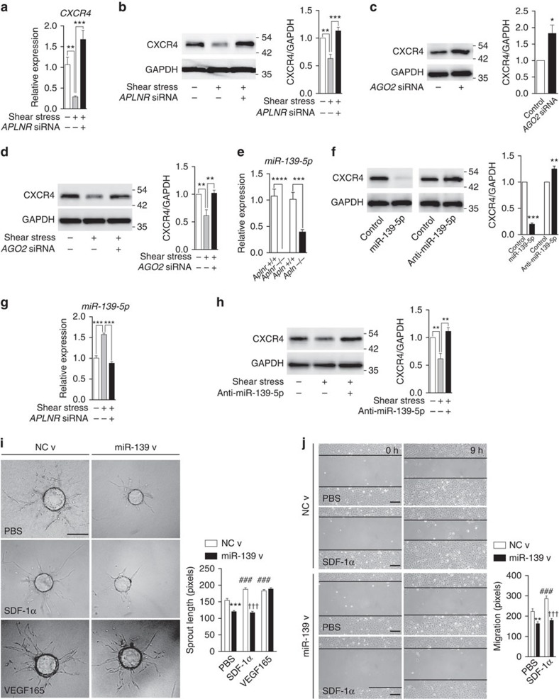APLNR regulates  CXCR4  expression through miR-139-5p. ( a , b ) CXCR4 expression in response to shear stress exposure in HUVECs, with or without concurrent  APLNR  knockdown. mRNA ( a ) and protein levels ( b ) are shown. ( c ) CXCR4 expression in response to  AGO2  knockdown. ( d ) CXCR4 expression in response to shear stress exposure in HUVECs, with or without concurrent  AGO2  knockdown. ( e ) Determination of miR-139-5p levels in FACS sorted ECs from P5 retinas of  Aplnr −/− ,  Apln −/−  mice and respective littermates.  n= 3 retinas per genotype. ( f ) CXCR4 expression in HUVECs overexpressing miR-139-5p mimic or non-targeting control anti-miR. ( g ) Expression levels of miR-139-5p in response to shear stress, with or without concurrent  APLNR  knockdown. ( h ) CXCR4 expression in HUVECs in response to shear stress exposure, with or without concurrent miR-139-5p inhibition via anti-miR. ( i ) Sprouting assay using HUVEC covered beads transduced with miR-139-5p or control lentivirus in response to SDF-1α or VEGF 165. Scale bar, 175μm. ( j ) Migration assay of HUVECs transduced with miR-139-5p or control lentivirus in response to SDF-1α. Scale bar, 200μm. * P