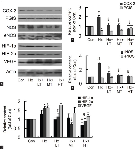 Effects of tongxinluo (TXL) on the hypoxia-induced protein content changes. (a) The protein contents of cyclooxygenase-2 (COX-2), prostacyclin synthase (PGIS), inducible nitric oxide synthase (iNOS), endothelial NOS, hypoxia-inducible factor (HIF)-1α, HIF-2α, and vascular endothelial growth factor (VEGF) were detected by Western blotting; (b) TXL decreased the hypoxia-induced COX-2, with increase of PGIS; (c) TXL decreased the hypoxia-induced iNOS; (d) TXL decreased the hypoxia-induced HIF-1α, HIF-2α, and VEGF. * P