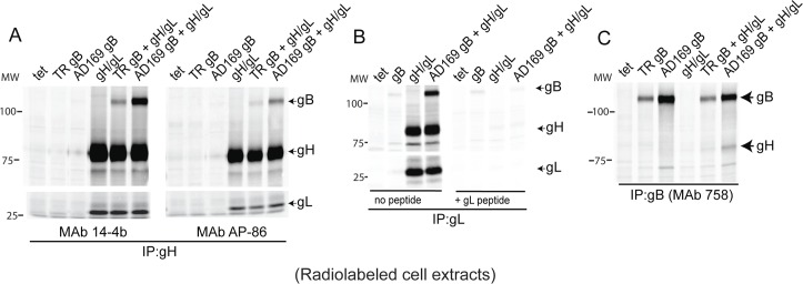 Detection of gB-gH/gL complexes following IP from radiolabeled Ad-transduced cells. ARPE-19 cells were transduced with Ad vectors expressing HCMV glycoproteins: HCMV strain TR or strain AD169 gB, TR gH/gL or a negative control, Ad-tet-trans (tet), as indicated at the top part of each panel. At 20 hrs post-transduction, the cells were radiolabeled with 35 S-cysteine-methionine for 4 hrs. The cells were lysed with IP buffer containing 1% NP-40 and the proteins immunoprecipitated (IP'd) then analyzed by SDS-PAGE under reducing conditions. (A) Lysates were IP'd with anti-gH MAbs: 14-4b or AP86. (B) Lysates were IP'd with rabbit anti-peptide sera specific for gL in the absence of the gL peptide used to produce the antibodies (left panel) or with that peptide present in the IP (right panel). (C) Lysates were IP'd with the human anti-gB MAb 758. Molecular mass (MW) markers are indicated on the left.