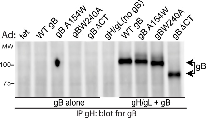 Fusion loop gB mutants complex with gH/gL. ARPE-19 cells were transduced with Ad vectors expressing wild type gB (WT gB) or mutant forms of gB: gBA154W, gBW240A, or gBΔCT alone or in combination with gH/gL. Extracts were made using 1% NP-40 and gH/gL IP'd from extracts using MAb 14-4b. Western blots were probed with anti-gB rabbit polyclonal serum.