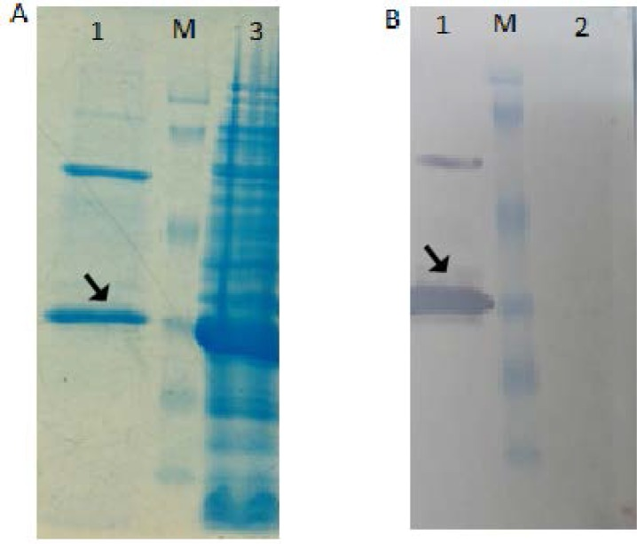SDS-PAGE and western blot Analysis of the purified recombinant protein after purification: (A) Lane 1, purified protein; 2; Lane M, molecular weight marker; Lane 3, bacterial lysate after 3h incubation. (B) Lane 1, purified protein; Lane M, molecular weight marker; Lane 2, BL21 cell lysate.