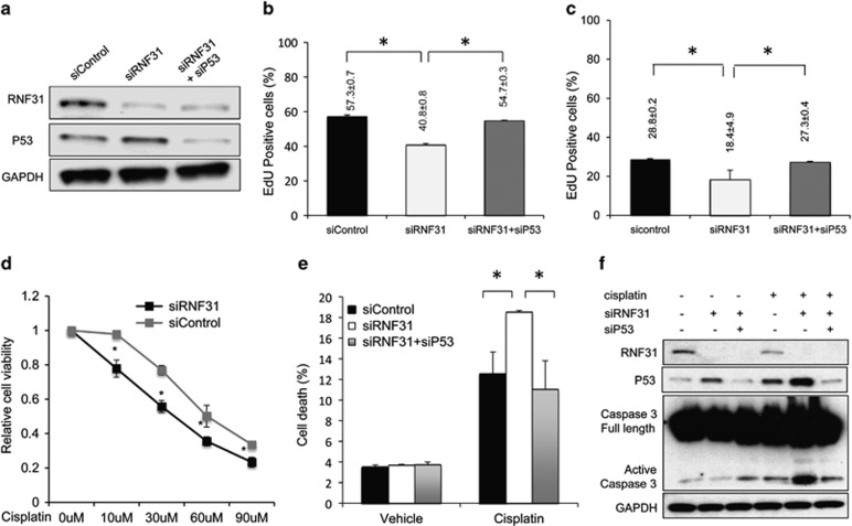 RNF31 depletion induces G1 cell cycle arrest and cisplatin-induced apoptosis in a p53-dependent manner. ( a ) The efficiency of RNF31 and p53 knockdown in MCF-7 cells. RNF31 and p53 protein levels were determined by western blot analysis. Glyceraldehydes 3-phophate dehydrogenase (GAPDH) was used as internal control. A representative blot of three independent experiments is shown. ( b ) RNF31 knockdown decreases cell proliferation in MCF-7 cells as determined by EdU incorporation, which can be rescued by p53 depletion. MCF-7 cells were treated with siControl, siRNF31 or siRNF31 and siP53 for 48 h. EdU was added at a concentration of 10 μ M and incubated for 1 h. The cells were subject to fluorescence-activated cell sorting (FACS) analysis. All values are mean±s.d. ( n =3, * P