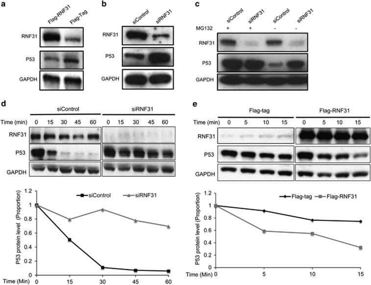 RNF31 regulates p53 protein stability. ( a ) Overexpression of RNF31 decreases endogenous p53 protein levels in MCF-7 cells. MCF-7 cells were transfected with plasmids expressing Flag-tagged RNF31 or the Flag tag alone. After 48 h, whole-protein extracts were prepared and the levels of RNF31, p53 and the internal control Glyceraldehydes 3-phophate dehydrogenase (GAPDH) were determined by western blot analysis. ( b ) RNF31 depletion increases p53 protein levels. MCF-7 cells were transfected with siRNF31 or siControl. Cells were collected after 24 h. p53 and RNF31 levels were determined by western blot analysis. GAPDH was used as internal control. ( c ) RNF31 depletion does not further increase the stability of p53 in the presence of the proteasome inhibitor MG132. MCF-7 cells were transfected with siRNF31 or siControl. After 48 h, cells were treated with 10 μ M MG132 or vehicle. Cells were collected 6 h after treatment and whole-protein extracts were prepared. The levels of RNF31, p53 and the internal control GAPDH were determined by western blot analysis. ( d ) Depletion of RNF31 increases p53 protein stability. MCF-7 cells were transfected with siRNF31 or siControl. After 48 h, cells were treated with protein biosynthesis inhibitor (100 μ M cycloheximide) for different times before whole-protein extraction. The levels of RNF31, p53 and the internal control GAPDH were determined by western blot analysis. ImageJ was used to quantify the p53 band density, followed by a normalization of the p53 level, with the level at time point zero set as 1. ( e ) Overexpression of RNF31 decreases p53 protein stability. MCF-7 cells were transfected with siRNF31 or siControl. After 48 h, cells were treated with protein biosynthesis inhibitor (100 μ M cycloheximide) for different times before whole-protein extraction. The levels of RNF31, p53 and the internal control GAPDH were determined by western blot analysis. ImageJ was used to quantify the p53 band density, followed by a normali
