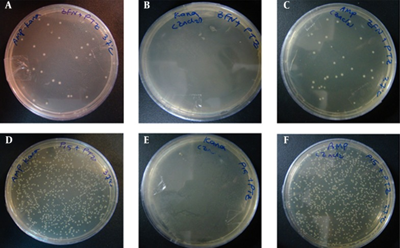 The Transformation Results From Experiment 1 at 37°C Figures A – C, show the transformation products of E. coli TOP10 containing pZFN, transformed with pTZ57R, on amp-kana, kana and amp-Containing Media; figures D – F, Display the Transformation Products of E. coli TOP10 containing the pP15A, kana R vector transformed with pTZ57R on the same media; the number of colonies on amp-kana and amp in the case group significantly decreased compared to the control group. The High rate of bacterial growth on kana-containing media ensures that the transformants did not lose their kana R plasmids.