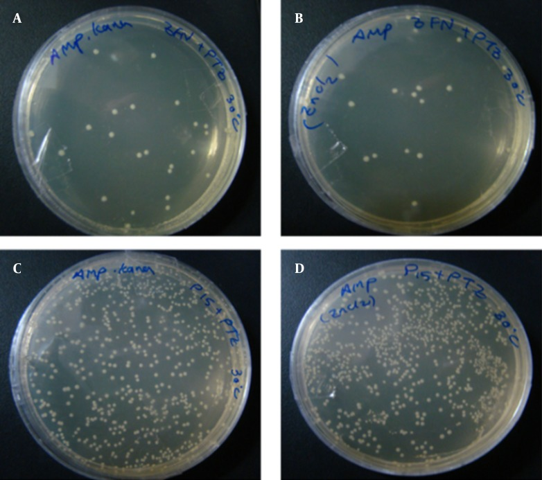 The Transformation Results From Experiment 1 at 30°C Figures A and B, show the transformation products of E. coli TOP10 Containing pZFN, Transformed With pTZ57R, as the case group on amp-kana and amp containing media; Figures C and D, show the transformation products of E. coli TOP10 containing pP15A, kana R vector transformed with pTZ57R, as the control group, on amp-kana and amp containing media. The plates were incubated overnight at 30°C. A significantly lower level of bacterial growth in the case group compared to the control group was also observed at this temperature.