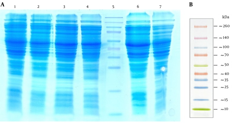 A Sodium Dodecyl Sulfate-Polyacrylamide Gel Electrophoresis (SDS-PAGE) Analysis Performed to Detect Zinc Finger Nuclease (ZFN) Expression Lanes 1 – 3, The Total Cell Protein (Tcp) of Escherichia coli top10 containing pZFN induced with 1 Mm Isopropyl Β-D-1-thiogalactopyranoside 4, 2, And 1 hour After Induction, Respectively; lane 4, the non-induced E. coli TOP10 containing pZFN; lane 5: the prestained protein ladder (Thermo Scientific, Waltham, MA, USA); lane 6, the TCP of the E. coli TOP10 containing pP15a, kanamycin-resistant ; lane 7 the TCP of E. coli TOP10 as negative controls. The ZFN protein band was not visible on SDS-PAGE due to the low levels of expression; B, thermo scientific prestained protein ladder size.