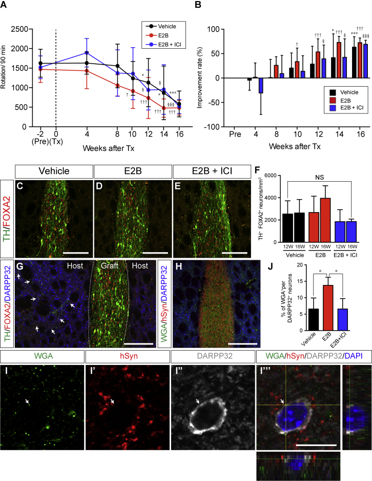 Rotational Behavior and Histological Evaluation of Hemi-Parkinsonian Rat Models that Are Grafted iPSC-Derived DA Progenitors and Received E2B Treatment (A and B) Methamphetamine-induced rotational behavior (A) and improvement ratio of rotational behavior (B) in 6-OHDA-lesioned rats after cell grafting. Quantitative data are represented as the mean ± SD (n = 9–12 independent animals, pre to 12 weeks; n = 5–7 independent animals, 14 and 16 weeks). Significance (two-way ANOVA with Tukey's multiple comparisons test): ∗ p