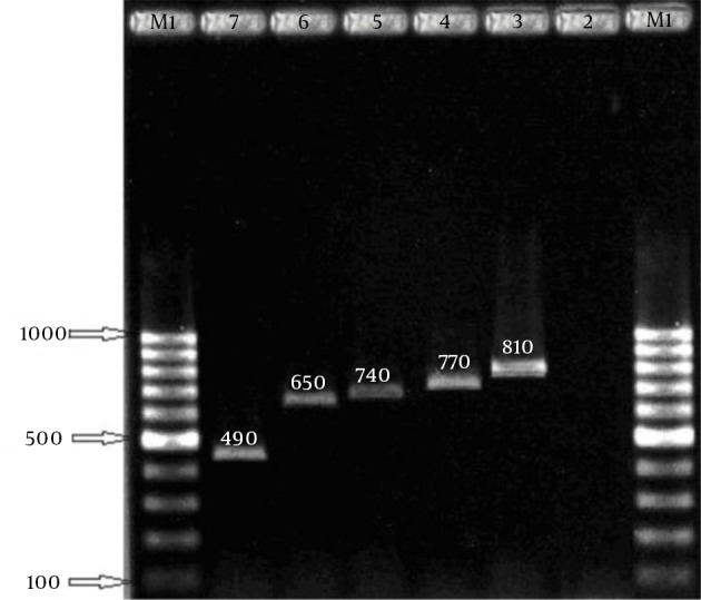 Agarose gel Electrophoresis of the coa Gene PCR Amplification Products and the PCR Amplified <t>aroA</t> Gene Amplification products. Left to right lanes 1 and 8: 100 bp digested. Left to right lane 1: 100 bp <t>DNA</t> ladder, DNA ladder. Lane 2: negative control. Lanes 3 - 7: 490 bp, Lane 2: aroA gene PCR 1153 bp. Lane 3: aroA gene 650, 740, 770, 810 bp. Digestion: 850 and 300 bp, Lane 4: negative control.