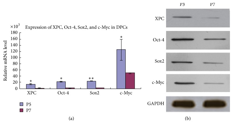 Expression of XPC, Oct-4 , Sox2, and c-Myc in DPCs at various passages. Real-time PCR showed that mRNA expression of XPC, Oct-4 , Sox2, and c-Myc was significantly higher in DPCs at passage 3 compared with passage 7 (a) ( ∗ p