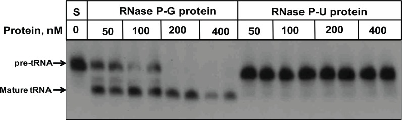 Activity of protein preparations on pre-tRNA at low ammonium acetate. The pre-tRNA processing activity with different amounts of RNase P protein preparations alone, in the absence of RNA component, was assayed in 50 mM Tris-HCl (pH 7.4), 10 mM magnesium chloride and 100 mM ammonium acetate. S denotes the substrate alone reaction.