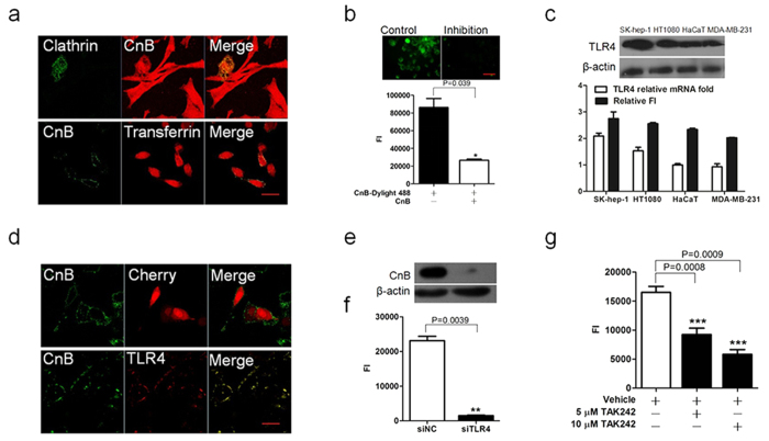 The uptake of exogenous CnB occurred via TLR4 receptor-mediated internalization. ( a ) Co-localization of rhodamine-labelled CnB with clathrin-GFP (upper panel) or CnB-GFP with rhodamine-labelled transferrin (lower panel) in SK-HEP-1 cells. The clathrin-GFP transfected cells were co-incubated with 5 μM CnB-rhodamine, or SK-HEP-1 cells were co-incubated with 5 μM CnB-GFP mixed with 5 μM rhodamine-labelled transferrin for 30 min, and visualized using a confocal laser scanning microscope (×63, scale bar 10 μm). ( b ) Free CnB inhibits the uptake of the fluorescently labelled CnB. The cells were co-incubated with excess CnB and DyLight 488-labeled CnB or labelled CnB alone for 30 min and visualized using an inverted fluorescence microscope (upper panel, scale bar 50 μm, 20×). The fluorescence intensity was quantified using a microplate reader (lower panel). ( c ) Positive correlation between CnB uptake and TLR4 expression. 5 × 10 5 cells from different cell lines were co-incubated with 5 μM CnB for 10 min, subjected to Trizol treatment and RNA extraction. Extracted mRNA was used for qPCR analysis of TLR4. The qPCR results were analyzed and compared with CnB-GFP uptake (lower panel). 5 × 10 6 cells from different cell lines were co-incubated with 5 μM CnB for 10 min and lysed with RIPA buffer, the samples were used for detecting the protein level of TLR4 by western blot analysis (upper panel). ( d ) Co-localization of exogenous CnB-GFP and TLR4-cherry. The TLR4-cherry- or cherry-transfected Hek293 cells were co-incubated with 5 μM CnB-GFP for 30 min, and visualized using a confocal laser scanning microscope (63×, scale bar 20 μm). ( e,f ) Effect of TLR4 knock down on CnB uptake. The influence of TLR4 knock down on CnB uptake was analysed by western blot analysis ( e ) or FI ( f ), (scale bar 50 μm, 20×). ( g ) TAK242 inhibited CnB uptake. The SK-HEP-1 cells were pre-incubated with 10 μM or 5 μM TAK242 or vehicle for 3 h, followed by co-incubation with CnB-GFP for 30 min.