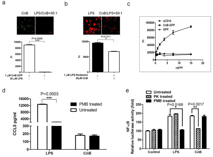 Uptake of exogenous CnB did not occur via binding to LPS, and CnB induced cytokine secretion. ( a ) The uptake of CnB could be inhibited by LPS. ( b ) The uptake of LPS could be inhibited by CnB. A 30-fold excess of LPS or CnB was mixed with CnB-GFP or rhodamine-labelled LPS and incubated with the SK-HEP-1 cells for 30 min. The results were visualized using an inverted fluorescence microscope (upper panel, scale bar 50 μm, 20×) and quantified using a microplate reader (lower panel). ( c ) CnB-GFP did not bind to LPS. To a black ELISA plate, 10 μg/ml LPS was immobilized and incubated with different concentrations of CnB-GFP, DyLight 488-labeled CD14 or GFP to evaluate the binding between CnB and LPS. ( d ) The CnB-induced cytokine production was not due to LPS contamination. The RAW264.7 cells were incubated with 1 μg/ml LPS, 100 μg/ml CnB, 1 μg/ml LPS in the presence of 100 μg/ml polymyxin B or 100 μg/ml CnB in the presence of 100 μg/ml polymyxin B for 24 h and the levels of the secreted cytokines in the supernatant were measured by ELISA. ( e ) NF-κB was activated by CnB in the TLR4-transfected Hek293 cells. The Hek293 cells were transfected with the TLR4-pcDNA3.1 plasmid and incubated for 24 h. The cells were plated in 24-well plates (1 × 10 5 /well) and co-transfected with the pNF-κB-luc and pRL-null-Renilla-luc plasmids. Twenty-four hours post-transfection, the cells were co-incubated with 1 μg/ml LPS, 400 μg/ml CnB, 1 μg/ml LPS in the presence of 100 μg/ml polymyxin B, 400 μg/ml CnB in the presence of 100 μg/ml polymyxin B, 1 μg/ml proteinase K-treated LPS or 400 μg/ml proteinase K-treated CnB for 12 h. Luciferase activity was measured using a Dual-luciferase Reporter system. The data were normalized to the control. Data represent three independent experiments (mean ± s.e.m., n = 3). *P