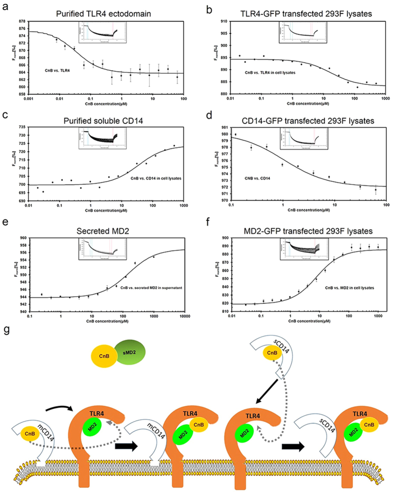 MST measurements of the interaction between CnB and the TLR4 receptor complexes. ( a ) Measurement of rhCnB binding to the purified TLR4 ectodomain. ( b ) Measurement of CnB binding to the full-length TLR4 from transfected HEK293 lysates. ( c ) Measurement of rhCnB binding to purified soluble CD14. ( d ) Measurement of rhCnB binding to full-length membrane-anchored CD14 from transfected HEK293 lysates. ( e ) Measurement of the binding of rhCnB to secreted MD2 in the supernatant from transfected HEK293 cells. ( f ) Measurement of rhCnB binding to MD2 in the transfected Hek293 cell lysates. The purified TLR4 ectodomain or soluble CD14 was labelled with DyLight 488, and the concentration of labelled protein was adjusted to 20 nM. GFP-tagged TLR4, CD14 and MD2 constructs were transfected into HEK293 cells, incubated for 48 h, and lysed with RIPA buffer. Secreted MD2 was obtained from the supernatant of the MD2-transfected hek293 cells. The lysates were diluted according to fluorescence intensity. The recombinant CnB protein was dissolved to a 500 μM concentration using MST buffer and 16 1:1 dilution samples were prepared. The labelled proteins or GFP-tagged receptors lysates were added into each ligand dilution and mixed. After 10 min incubation, each solution was added to Standard Treated Capillaries for Thermophoresis. The data were analysed using NT. Analysis software. All data are representative of at least two independent experiments. ( g ) Model depicting the recognition of exogenous CnB. Membrane-anchored or soluble CD14 first recognized CnB and transported it to the TLR4/MD2 complex located on the plasma membrane, followed by internalization of the CnB/TLR4 receptor complexes and signalling through TLR4. Free MD2 also recognized and bound to CnB, although the affinity was lower than that of the MD2 on the plasma membrane.
