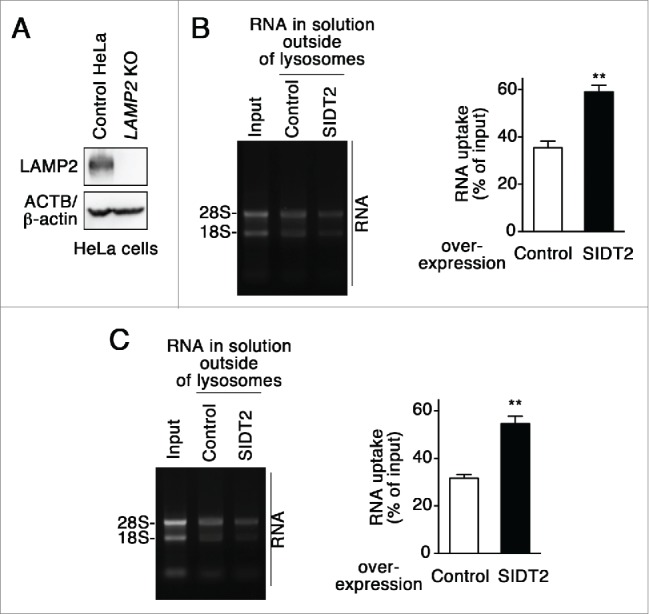 Effect of SIDT2 overexpression on RNautophagy in the absence of LAMP2. (A) LAMP2 levels in LAMP2 -deficient HeLa cells and parental HeLa cells (control HeLa) were analyzed by immunoblotting. (B and C) RNA uptake assays were performed using isolated lysosomes derived from LAMP2 -deficient HeLa cells (B) or parental HeLa cells (C). Relative levels of RNA uptake were quantified. Results are expressed as mean ± SEM ( n = 3). **, P