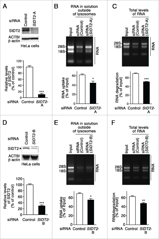Effects of SIDT2 knockdown on RNA uptake and degradation by lysosomes. (A and D) Decreased levels of SIDT2 proteins in HeLa cells transfected with SIDT2 -siRNA were confirmed by immunoblotting. Relative levels of SIDT2 were quantified. Results are expressed as mean ± SEM ( n = 3). (B and E) RNA uptake assay I ( Fig. 2A ) was performed using isolated lysosomes derived from SIDT2 knockdown or control siRNA-transfected cells. Relative levels of RNA uptake were quantified. Mean ± SEM ( n = 3). ***, P