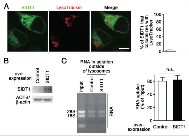 Effect of SIDT1 overexpression on RNautophagy. (A) Neuro2a cells expressing GFP-tagged SIDT1 were incubated with LysoTracker Red. Fluorescence images were visualized using a confocal laser-scanning microscope. Scale bar: 10 μm. Colocalization rate was quantified (right panel, n=3). (B) SIDT1 was overexpressed in Neuro2a cells. Protein levels were analyzed by immunoblotting using an anti-SIDT1 antibody. (C) Lysosomes were isolated from Neuro2a cells overexpressing SIDT1 or control transfectants. The RNA uptake assay I indicated in Fig. 2A was performed. Relative levels of RNA uptake were quantified. Mean ± SEM ( n = 3). n.s., not significant.