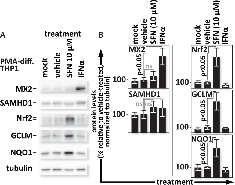 SFN does not trigger expression of interferon-stimulated anti-viral factors SAMHD1 or MX2. PMA-differentiated THP1 cells were mock-treated or treated with media supplemented with vehicle only (DMSO) or with 10 μM SFN or with 500 U/mL of IFNα. (A), Proteins from whole cell lysates were resolved by SDS-PAGE and identified by western blotting using antibodies with the indicated specificities. (B), Densitometric analysis was performed on the Nrf2, SAMHD1, MX2, NQO1 and GCLM (NQO1 and GCLM are both indicators of Nrf2 function) bands and normalized to the values of the corresponding tubulin bands. The relative normalized intensities of the bands were then graphed.