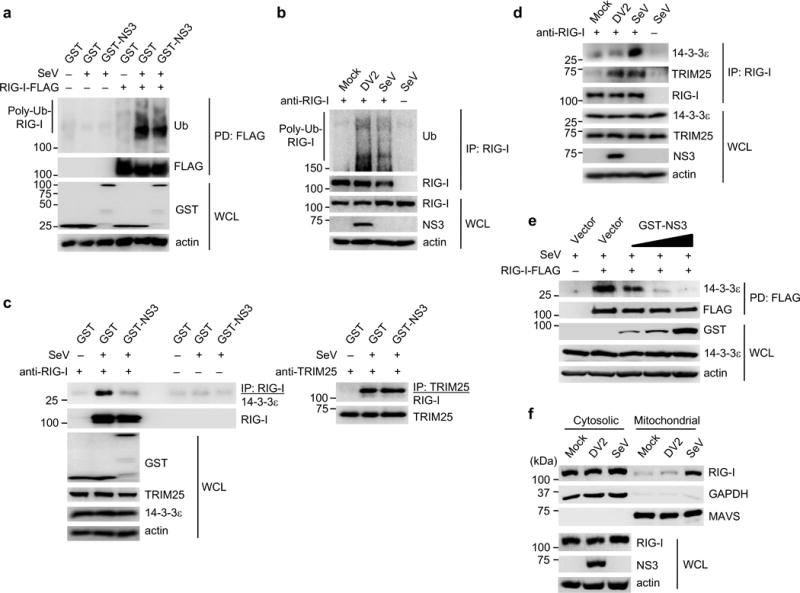 NS3 inhibits binding of RIG-I to 14-3-3ε, preventing the translocation of activated RIG-I to mitochondria ( a ) Ubiquitination of RIG-I-FLAG in transfected HEK293T cells that were mock-infected or infected with SeV (50 HAU/ml) for 19 h. WCLs were subjected to FLAG-PD, followed by IB with anti-ubiquitin (Ub) and anti-FLAG. ( b ) Ubiquitination of endogenous RIG-I in Huh7 cells that were mock-infected, infected with DV2 NGC (MOI 1) or SeV (50 HAU/ml) for 18 h. IP with anti-RIG-I was performed, followed by IB with anti-Ub and anti-RIG-I. ( c ) Binding of endogenous RIG-I, TRIM25 and 14-3-3ε in transfected HEK293T cells that were infected with SeV (50 HAU/ml) for 23 h. WCLs were subjected to IP with anti-RIG-I (left) or anti-TRIM25 (right), followed by IB with anti-14-3-3ε, anti-TRIM25 or anti-RIG-I. The data shown are from the same experiment. ( d ) Huh7 cells were mock-infected, or infected with DV2 NGC (MOI 1) or SeV (50 HAU/ml) for 18 h. IP with anti-RIG-I was performed, followed by IB with anti-14-3-3ε, anti-TRIM25 or anti-RIG-I. ( e ) HEK293T cells were transfected with RIG-I-FLAG together with vector or increasing amounts of GST-NS3. 48 h later, cells were infected with SeV (50 HAU/ml) for 20 h, and FLAG-PD was performed. ( f ) Cytosol-mitochondria fractionation of WCLs from Huh7 cells that were mock-infected, infected with DV2 NGC (MOI 1) or SeV (50 HAU/ml) for 22 h. IB was performed with anti-RIG-I, anti-MAVS and anti-GAPDH. RIG-I and NS3 expressions were determined in the WCL. Data are representative of at least 2 independent experiments ( a–f ).