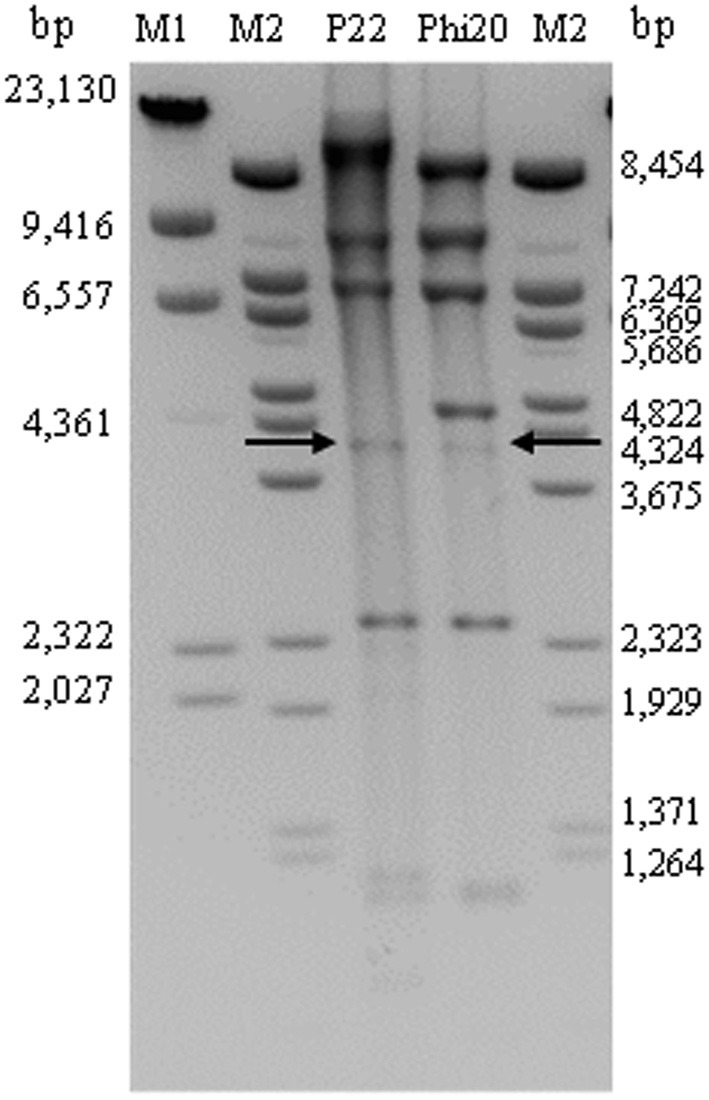 Determination of genome ends of UAB_Phi20 phage after digestion with EcoRI enzyme . Genome of bacteriophage P22 digested with Eco RI was used as control. Arrows indicate the 4007-bp fragment containing the pac sequence. Lambda DNA digested with Hin dIII (M1) or Bst EII (M2) were used as molecular markers. Sizes (bp) are indicated on both sides of the image.