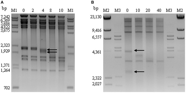 Time-limited digestion with Bal 31 exonuclease of UAB_Phi78 and UAB_Phi87 DNA followed by digestion with Hin dIII and Spe I, respectively . Arrows indicate the sequentially degraded DNA bands of 2200 and 2080 bp for UAB_Phi78 (A) and of 4322 and 2819 bp for UAB_Phi87 (B) . M: marker lanes containing a mixture of λ DNA digested with Bst EII and φX174 digested with Hin fI (M1), λ-DNA-digested Hin dIII (M2), and λ-DNA-digested Bst EII (M3). Sizes (bp) are indicated on the left side of the images.