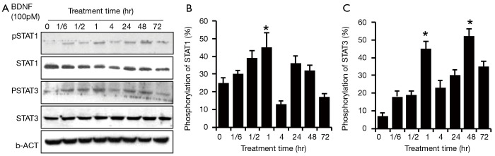 Time response of JAK/STAT pathway activation in HSCs after BDNF treatment. BDNF (100 pM) was administered to treat the human Schwann cells at 0 min, 10 min, 30 min, 60 min, 120 min, 24 hr and 72 hr. STAT3/STAT1 were activated at 10 min after the treatment with BDNF (lane 2), and the phosphorylation level peaked at 60 min (lane 4) (*P